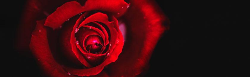 Rose Resurrection2