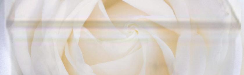 Rose for Alabaster box copy